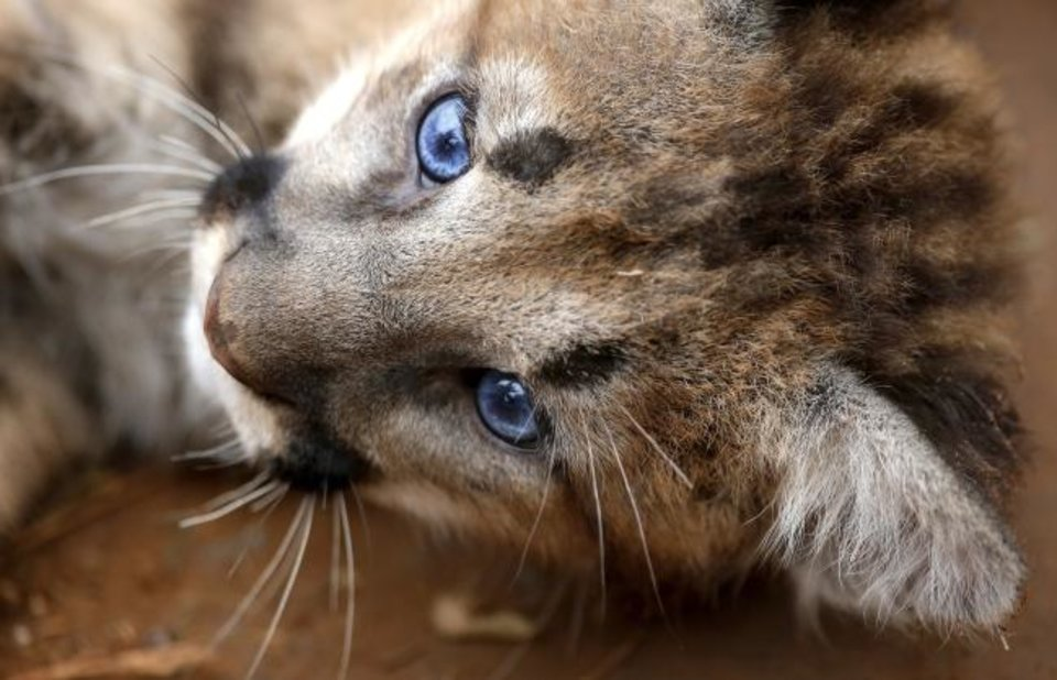 Mountain lion cubs on display at OKC Zoo