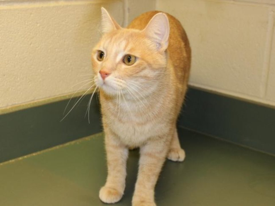 Photo -  Sweet Cream is a beautiful, 4-year-old buff male domestic shorthair available for adoption. He is friendly and playful. Sweet Cream is available for adoption from the Edmond Animal Welfare Shelter, 2424 Old Timbers Drive. His adoption fee is $25. Call 405-216-7615. [PHOTO PROVIDED]