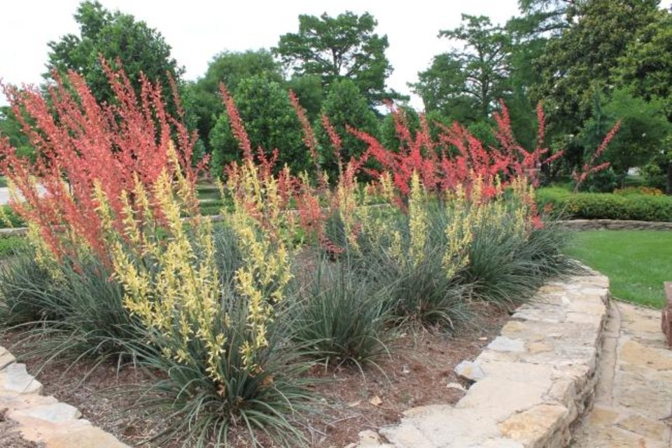 Photo -  The long, spikey colorful blooms of the red yucca are show-stopping. [PHOTO PROVIDED/OSU EXTENSION]