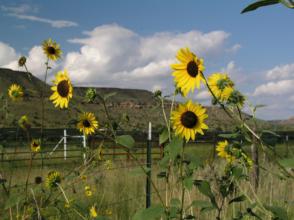 Photo - Sunflowers dot the countryside near Black Mesa in the Oklahoma Panhandle. OKLAHOMA TOURISM DEPARTMENT