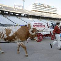 Bevo is lead past the Sooner Schooner before the Red River Showdown college football game between the University of Oklahoma Sooners (OU) and the...