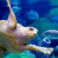 The Oklahoma Aquarium is offering new animal encounters, including behind-the-scenes opportunities with its loggerhead sea turtle, Seamore. [Photo...