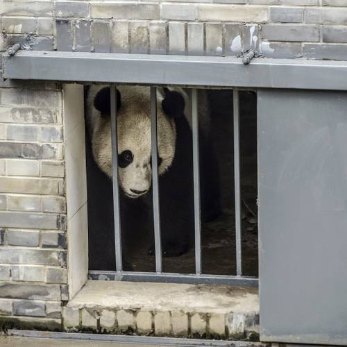 Giant panda Bao Bao returns home to China, makes first appearance in new habitat