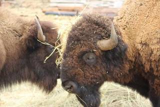 A herd of bison from Foss State Park are being auctioned off as state surplus. [Photo Provided]