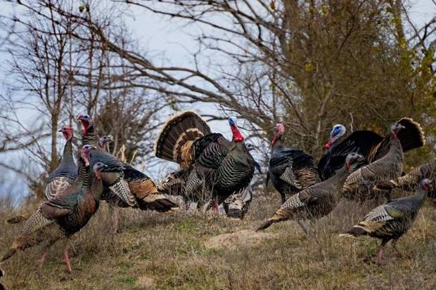Coronavirus in Oklahoma: Turkey season opens Monday but fewer gobblers await hunters