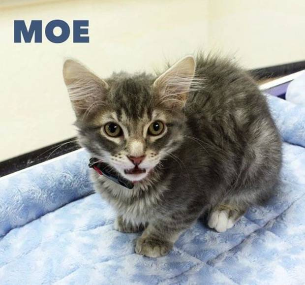 From the Central Oklahoma Humane Society's Instagram account (@okhumane): Everyone meet Moe from the kitty trio of Meeny, Miny, and Moe! He is a three-month-old domestic medium-hair/mix. Moe is very spunky, playful and is looking for his forever playmate. Stop by the Adoption Center today until 7PM to meet him! 7500 N. Western.