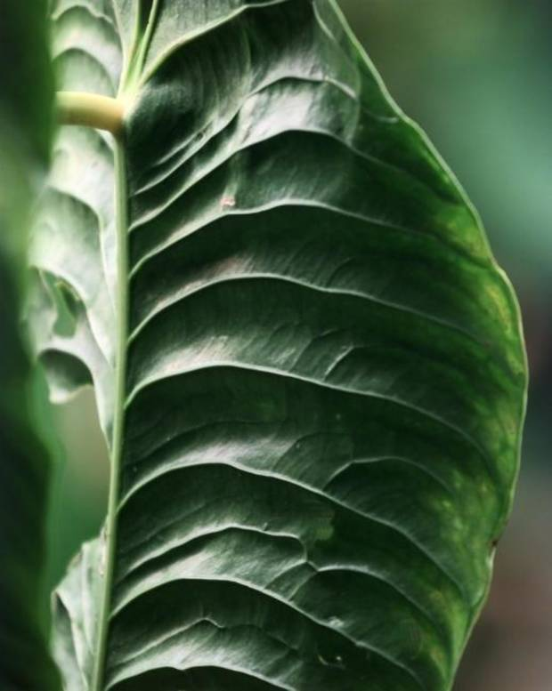 Nature & You: Plant leaf shapes are mysterious examples of problem-solving