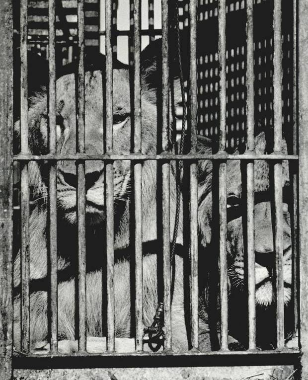 Sept. 22, 1987: Two caged lions peer out between bars between performances at the Ringling Bros. and Barnum & Bailey Circus. [Photo by David McDaniel, The Oklahoman Archives]