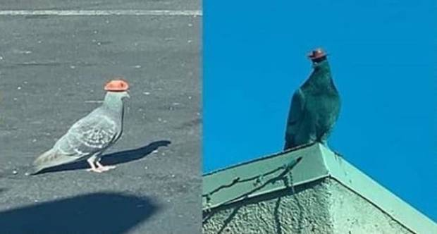 Pigeons wearing tiny cowboy hats are flying around Las Vegas and people have questions
