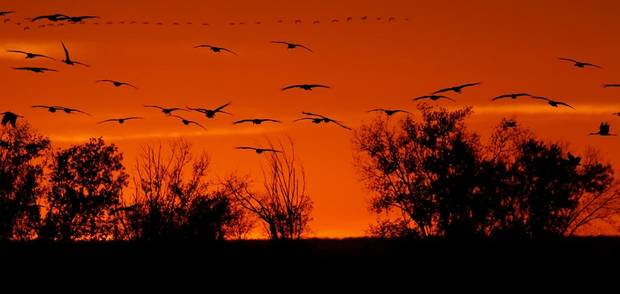 Sandhill cranes fly over the Salt Plains National Wildlife Refuge at sunset in Alfalfa County, Sunday November, 20 2016. [The Oklahoman Archives]