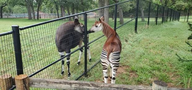 The OKC Zoo's new okapi Bosomi, right, gets to know his potential new mate, Kayin. [Tracey Dolphin/OKC Zoo]