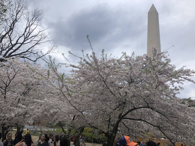 Washington, D.C.'s cherry blossoms frame the Washington Monument. (Photo by Berry Tramel)