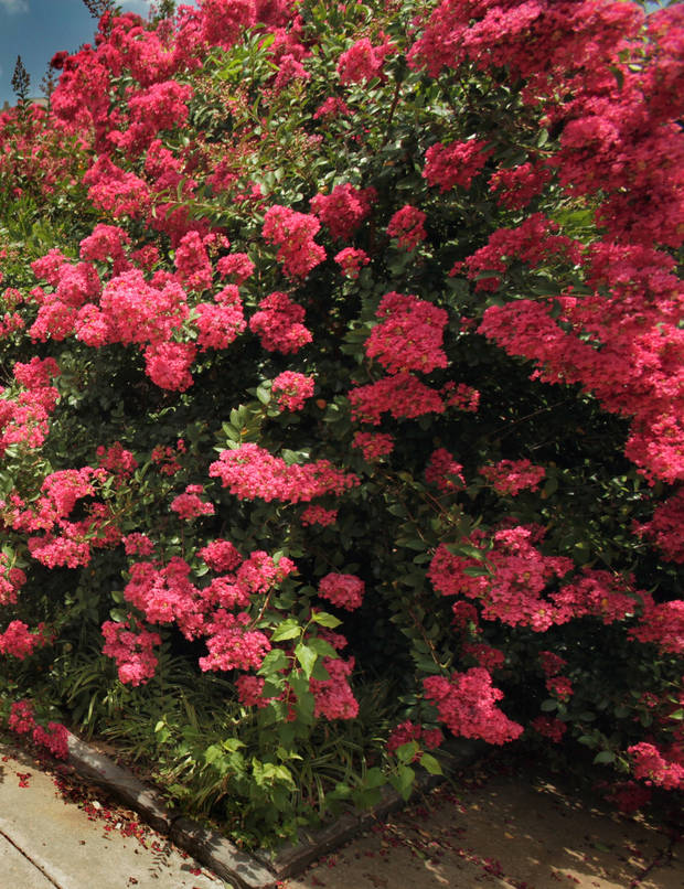 Crape myrtle plants are pictured here on July 1, 2010 near the Bizzell Memorial Library at the University of Oklahoma in Norman. [Photo by Steve Sisney, The Oklahoman]