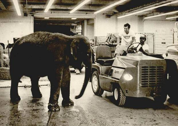 June 23, 1976: This baby elephant was a performer in the Ringling Bros. and Barnum & Bailey Circus. [Photo by Jim Argo, The Oklahoman Archives]