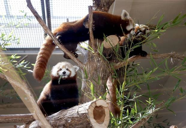 Red pandas eat bamboo in their habitat during a live social media feed at the Oklahoma City Zoo and Botanical Garden in Oklahoma City, Okla., Thursday, March 26, 2020. [Sarah Phipps/The Oklahoman]