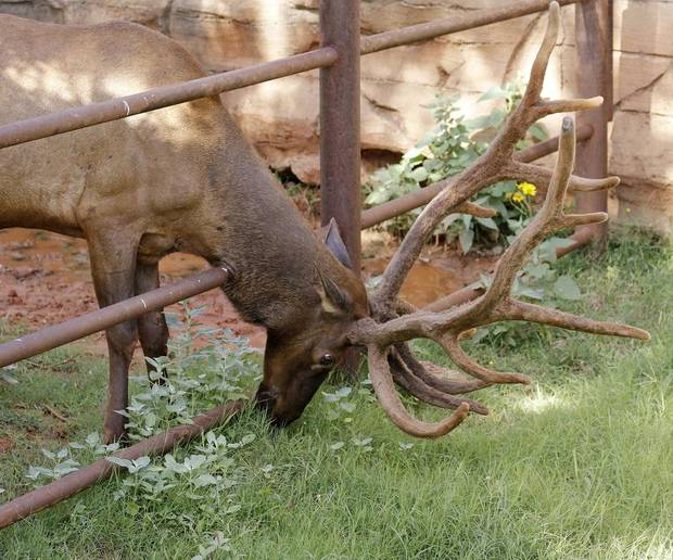 Fred the elk grazes at the Oklahoma City Zoo Saturday, July 11, 2015. The elk is among the animals that have been featured on the zoo's social media since it closed earlier this month in response to the coronavirus pandemic. [Doug Hoke/The Oklahoman Archives]
