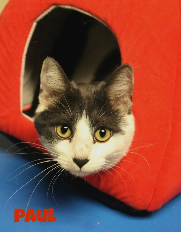 """Paul"" is among the adult cats available for adoption at the Central Oklahoma Humane Society, 7500 N Western."