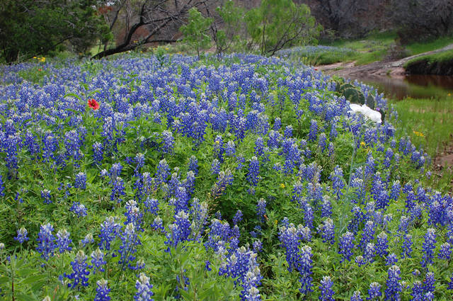 Bluebonnets thrive in texas hill country news ok for Hill country flooring